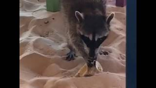 FUNNY ANIMALS: Hungry Raccoon