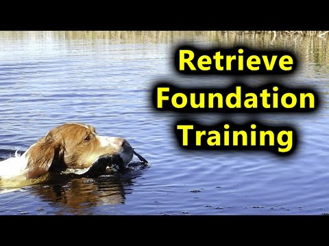 Retreive Foundation Training for Brittany Spaniel Hunting Dog