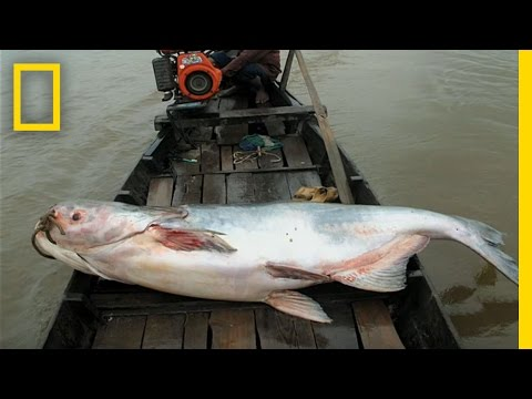 The Elusive Giant Catfish | National Geographic