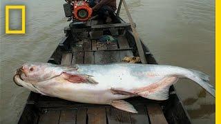 Video The Elusive Giant Catfish | National Geographic download MP3, 3GP, MP4, WEBM, AVI, FLV Juli 2018