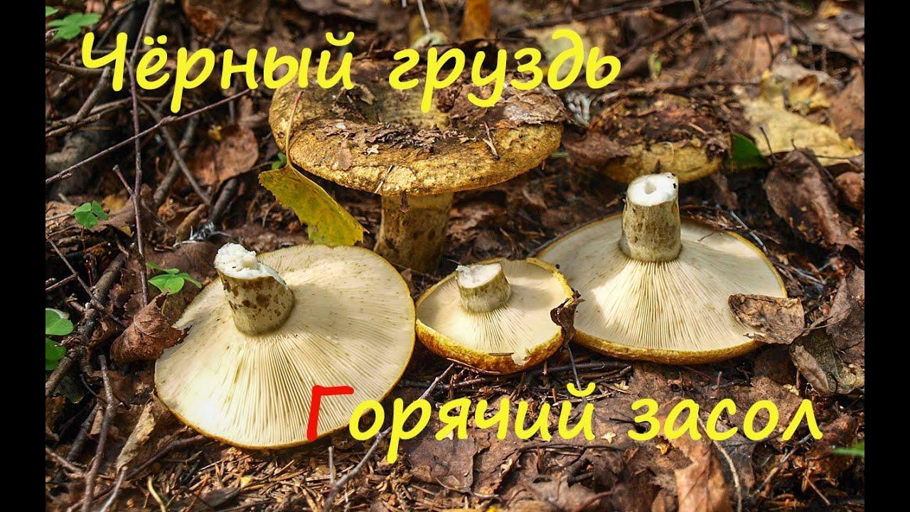 Рецепт соления черных груздей на зиму 160