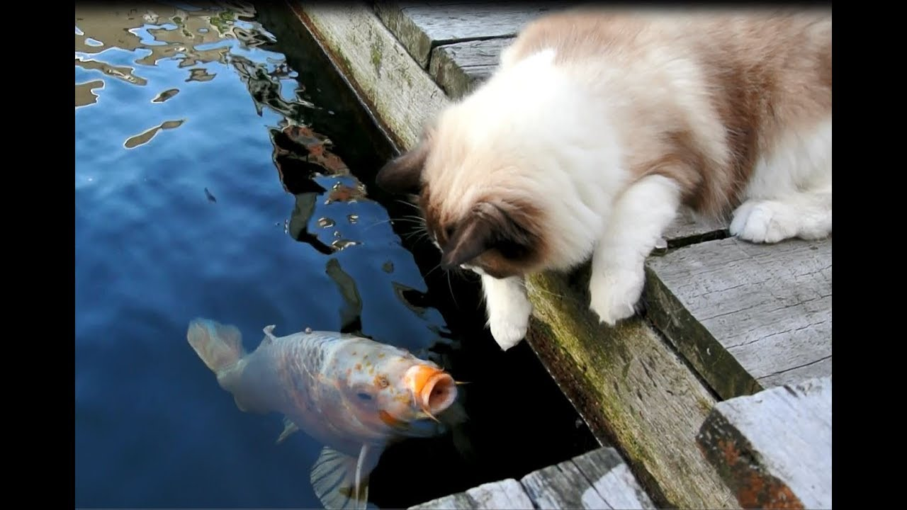 Timo the Ragdoll Cat greeting his fishy friends on New Years day