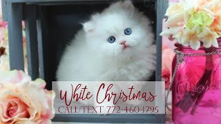White Christmas - Female Blue Eyed White Persian Kitten for Sale