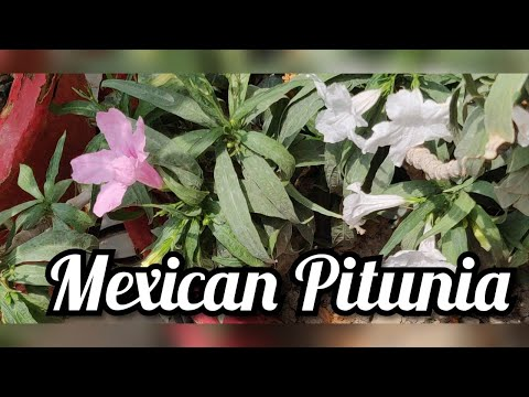 best-summer-evergreen-flowering-plant-mexican-pitunia-care-tips.