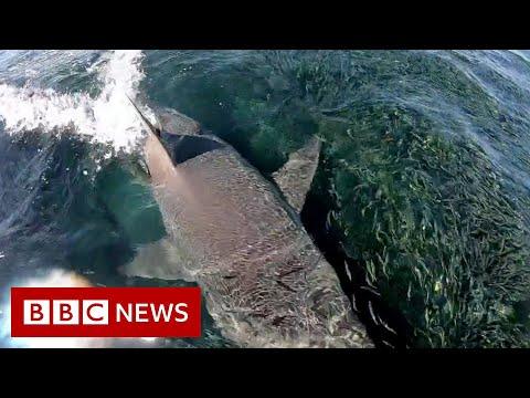'Sharks everywhere': Angler films feeding frenzy in Australia - BBC News