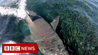 'Sharks everywhere': Angler films feeding frenzy in Australia - BBC News