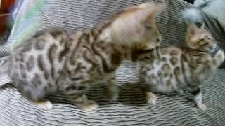 Восторг - бенгальские котята 4К