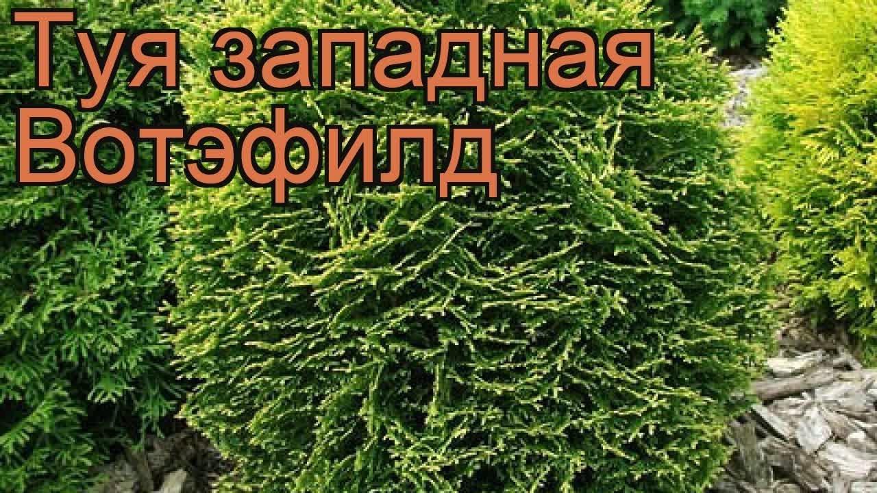 Береза повислая Пурпуреа (betula pendula) 🌿 Пурпуреа обзор: как .