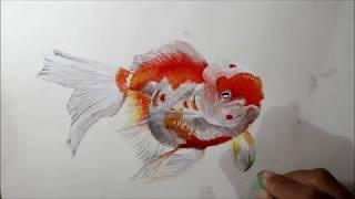 cara menggambar ikan mas koki
