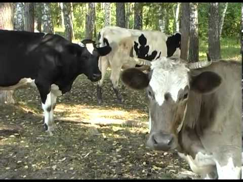 видео: Домашняя ферма   Коровы