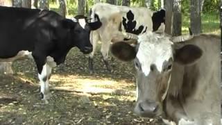 Домашняя ферма   Коровы(Корова на дворе - достаток а столе! Так гласит народная мудрость. Действительно, корова дает два важных прод..., 2014-03-18T01:41:49.000Z)