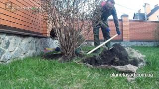 Ель канадская коника уход и размножение видео