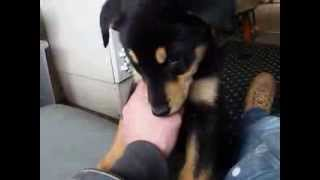 Angry Puppy, Doberman Cross Siberian Husky