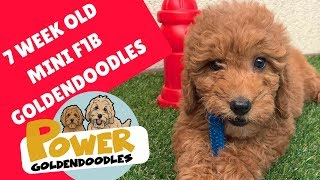 F1b mini Goldendoodles 7 weeks