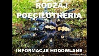Baixar Grupówki Poecilotheria 🕷 metallica, striata, vittata - informacje, karmienie - spidersonline.pl