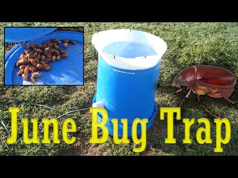 June Bug Trap for the Chickens