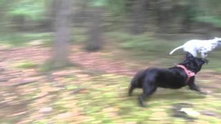 Dalmatian Vs. Labrador(s)