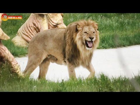Выпуск состоялся. Ищем львов. Тайган. Release of the lions took place. Taigan