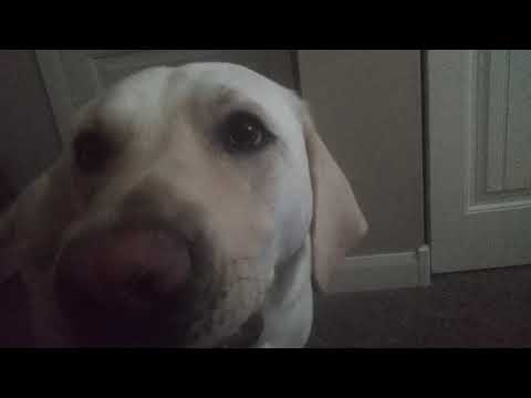 Guide Dog Huckleberry Can Talk?