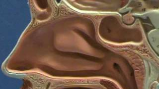 Half-Head Model - Nasal Cavity