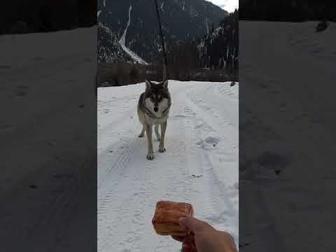 Встреча с волком