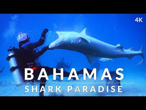 Sharks Of The Bahamas (4k) - Tiger, Great Hammerhead, Lemon, Nurse And Reef Sharks