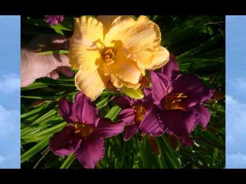 Калужница (растение) – полезные свойства и применение