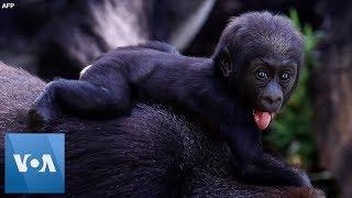 Critically Endangered Baby Gorilla Born in Brazil Zoo