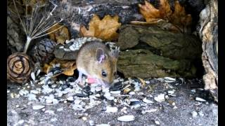 Mammal Box Hd: Wood Mouse Squeeze Through  & Eat