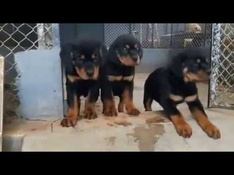 Top Quality Rottweiler Puppies Available For Sale