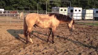 For Sale~ Marana Dunke Shay 2010 Dunskin Morgan Stallion