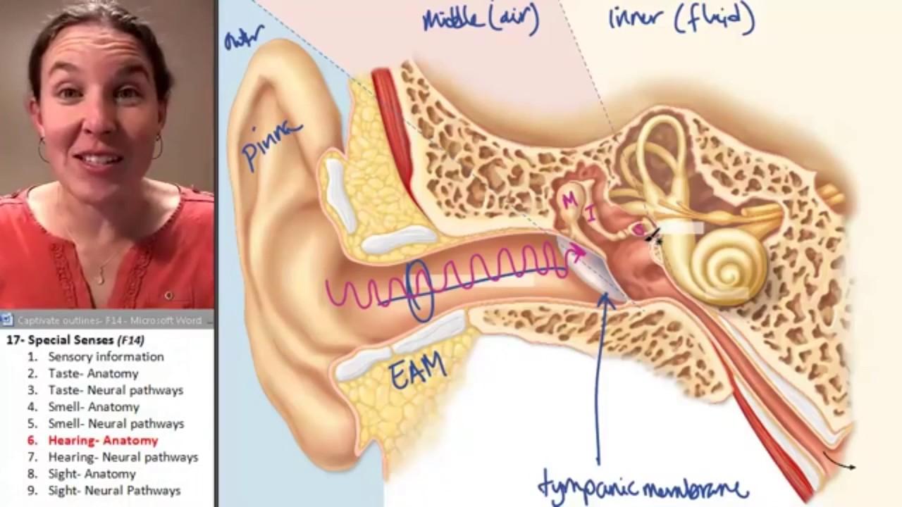 A lecture On Ear Anatomy Ear Anatomy - YouTube
