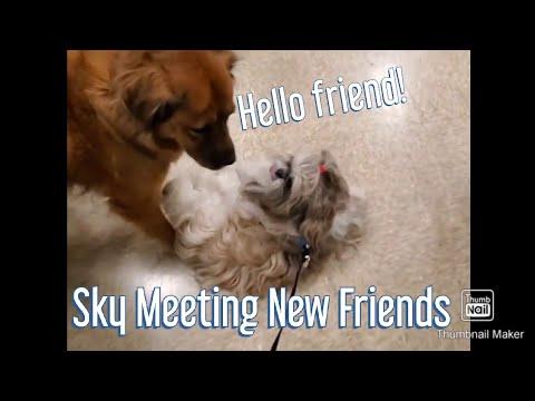 Dog Meeting New Friends At Pet Smart Sky the Fluffy Shih Tzu