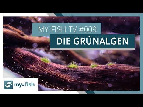 Grünalgen im Aquarium | Tipps zur Bekämpfung von grünen Algen | my-fish TV