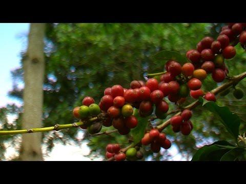 Cómo cultivar café orgánico cultivado Bajo la sombra - TvAgro por Juan Gonzalo Angel