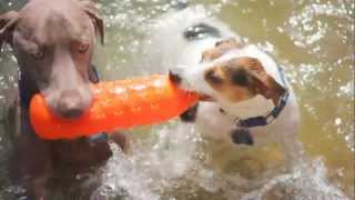 Weimaraner Plays Tug With A Bottle   The Daily Puppy