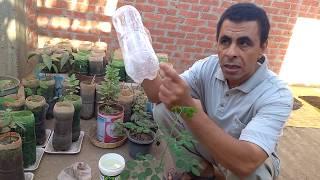 زراعة بذور المورينجا