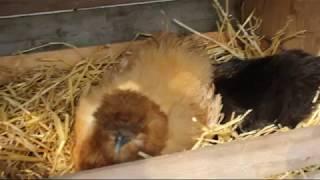 Wylęganie kurczaków odc. 3 - Aaa! Awaria prądu!