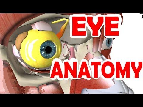 Eye Anatomy And Physiology - Pupil, Iris, Retina, Cornea, Sclera, & Lens