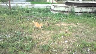 Рыжий кот и атака хомяка.