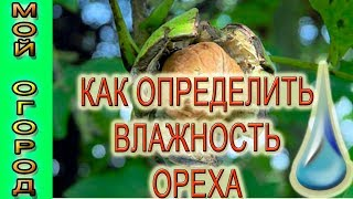 Влажность грецких орехов, определить очень просто