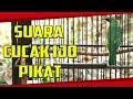 Cucak Ijo Pikat Cocok Untuk Pancingan Cucak Ijo Macet Langsung Gacor  Mp3 - Mp4 Download