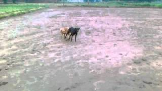 dog to dogi  sexy video.mp4