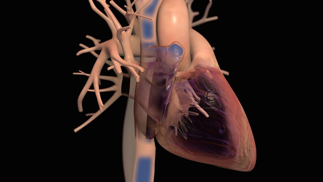 Anatomy and Function of the Heart - YouTube