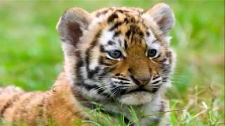 Охрана животных. Тигрёнок