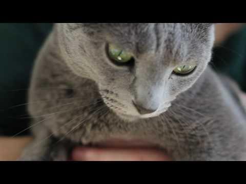 Kot rosyjski niebieski: charakter, pielęgnacja i predyspozycje do chorób