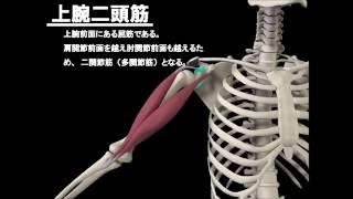 解剖学 上腕二頭筋 上腕三頭筋損傷 検索動画 15