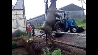 Бедная корова