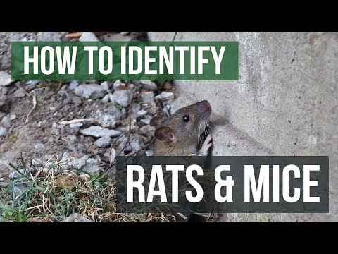 The Differences Between Rats And Mice: Rats VS Mice