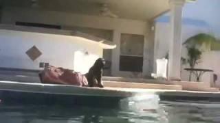 Labrador Retriever Puppy Vs. Swimming Pool